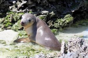 Australian sea lion having a bath in a rock pool