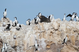 Sea lions can be sneaky - this one is hiding amongst sea birds!