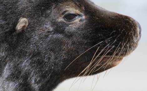 Whisker spot patterns are natural markings that might be a way of identifying individual sea lions